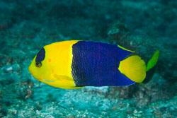 BD-141021-Bali-5848-Centropyge-bicolor-(Bloch.-1787)-[Bicolor-angelfish].jpg
